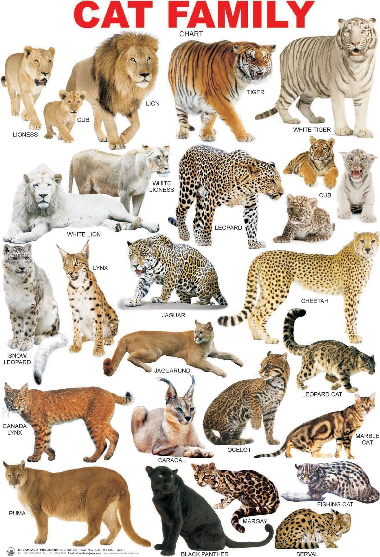 Cat breed chart google search bigcatfamily cats pinterest