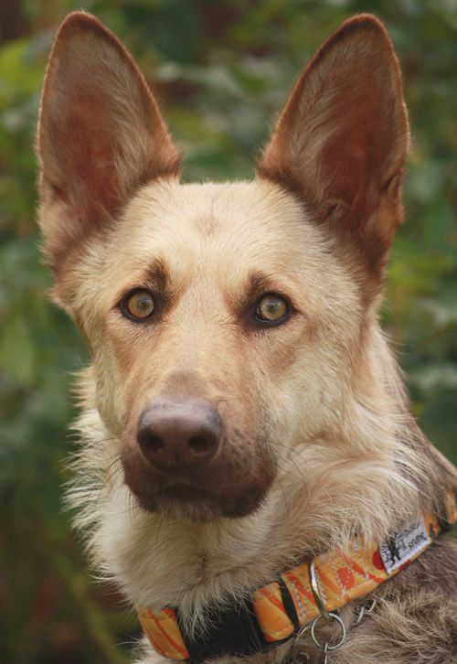 The Paws And Ears Get Bigger And Bigger Storyful Dog Best Pinterest Dog Profile All German She German Shepherd Photography German Shepherd Dogs Gsd Puppies