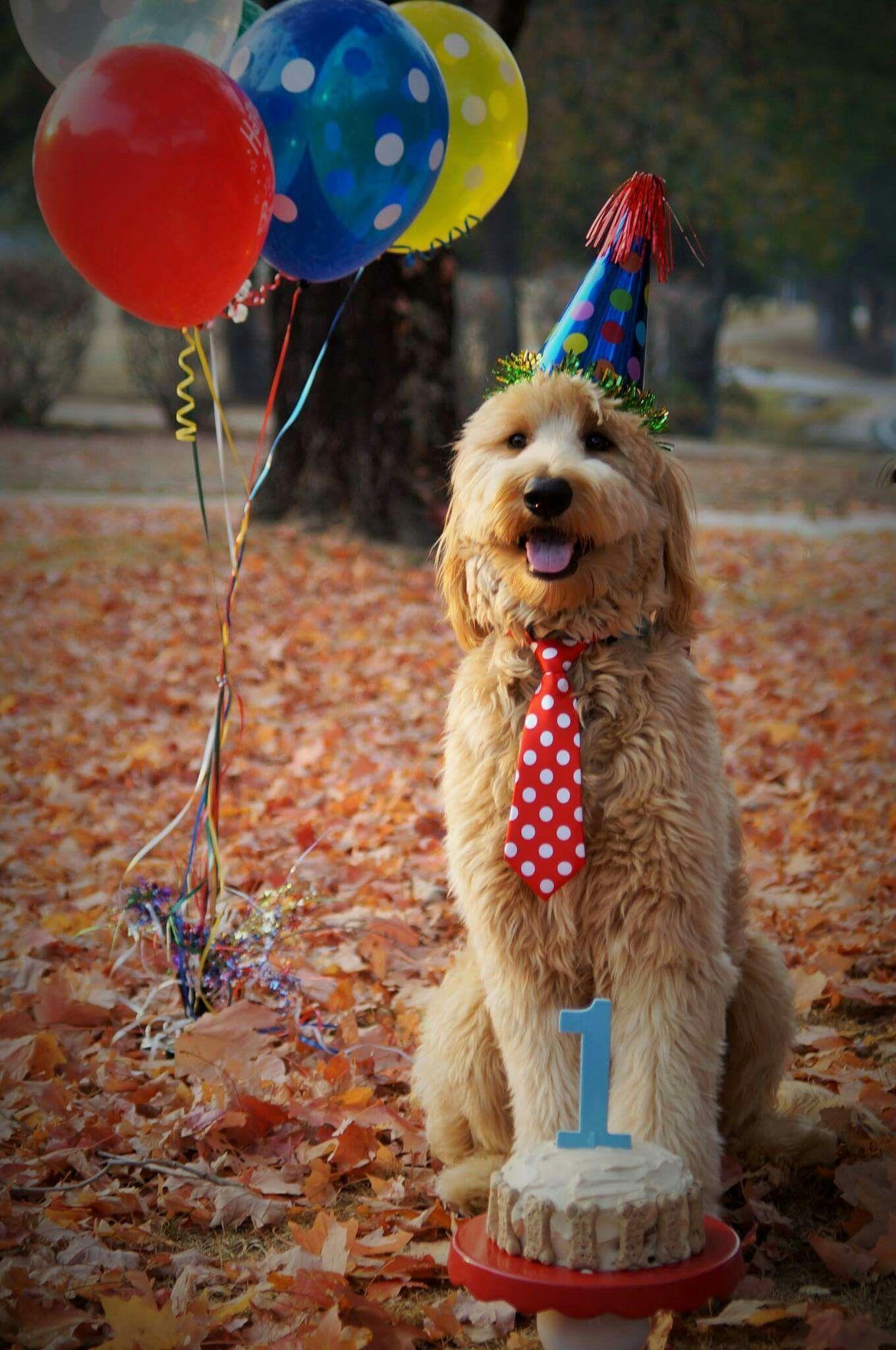 Happy 1st Birthday Tucker Goldendoodle Cutestdogever