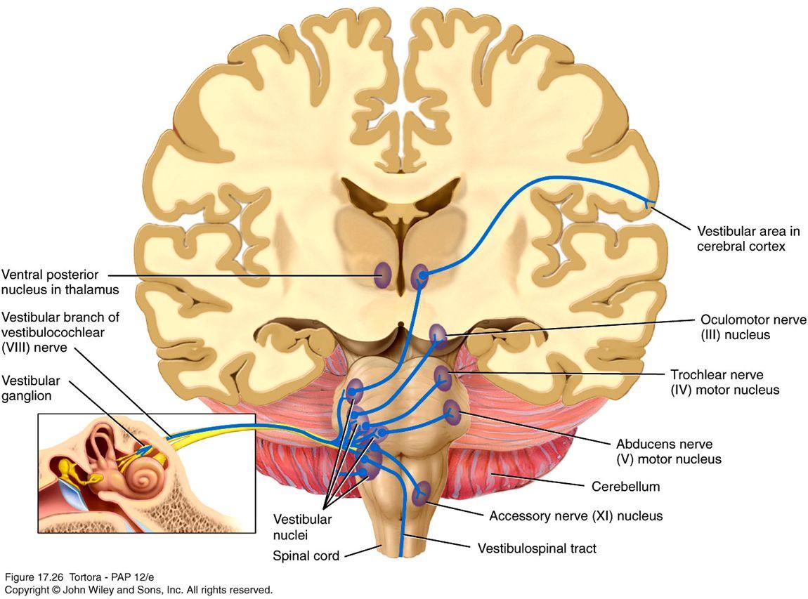vestibular tracts vestibular disorders pinterest