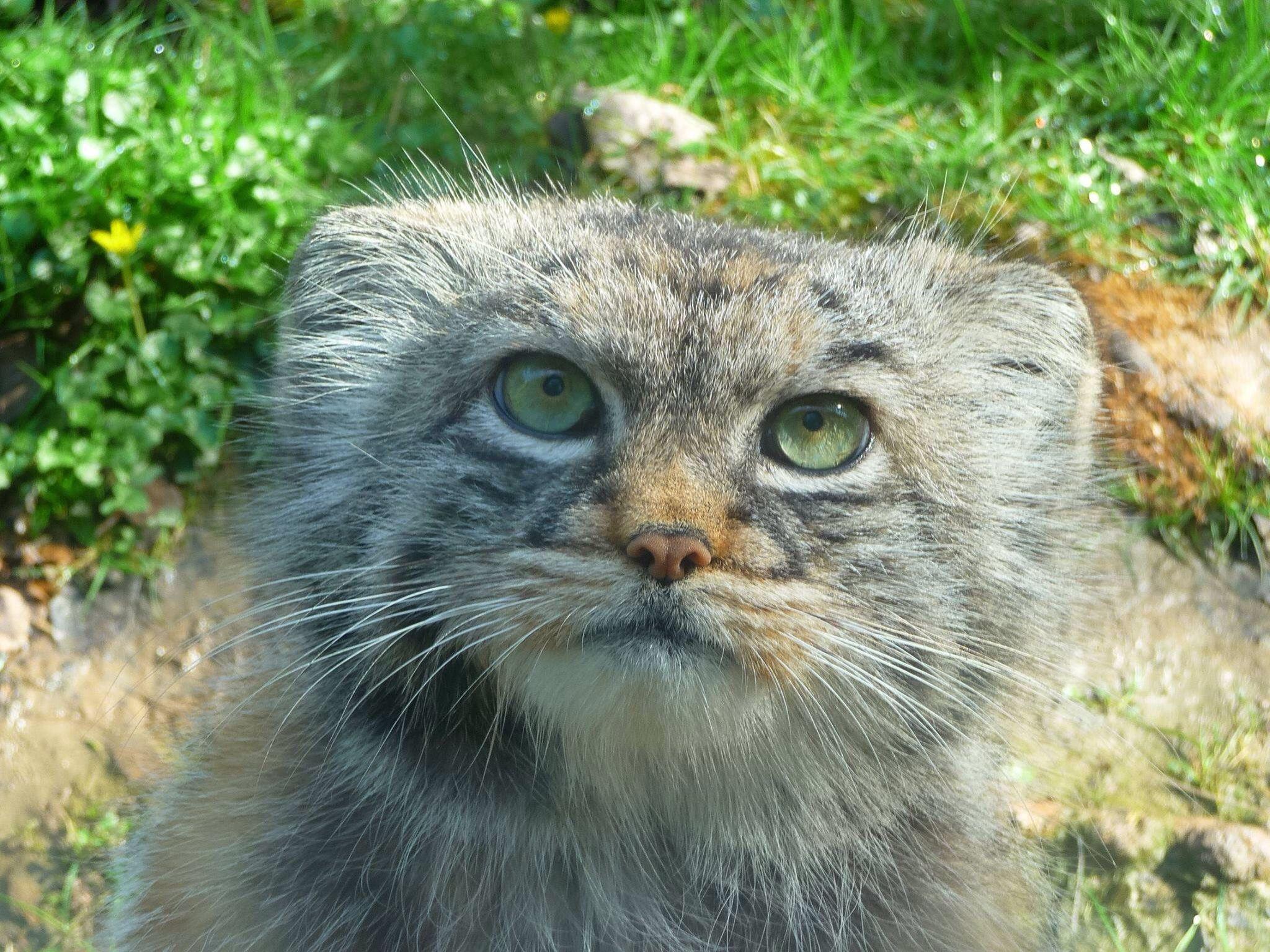 Pallas cat, beautiful! Pallas's cat, Wild cat species