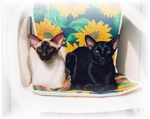 Siamilaiset ja itämaiset lyhytkarvat, omat kissat <3