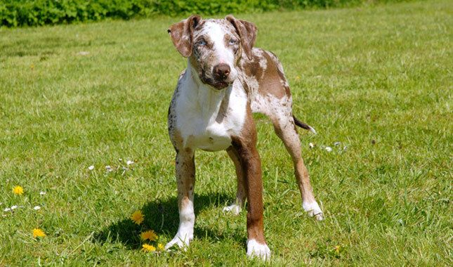 Catahoula Leopard Dog Breed Information Catahoula Leopard Dog Unusual Dog Breeds Catahoula Leopard Dog Facts