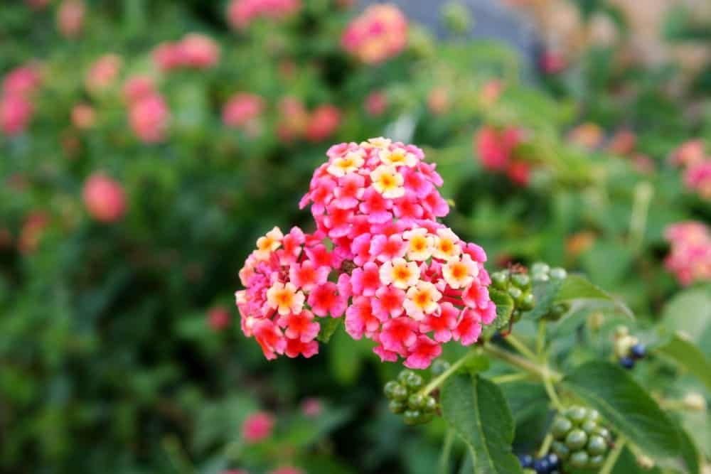 11 Types Of Lantana Flowers For Your Garden Lantana Flowers For You Lantana Plant