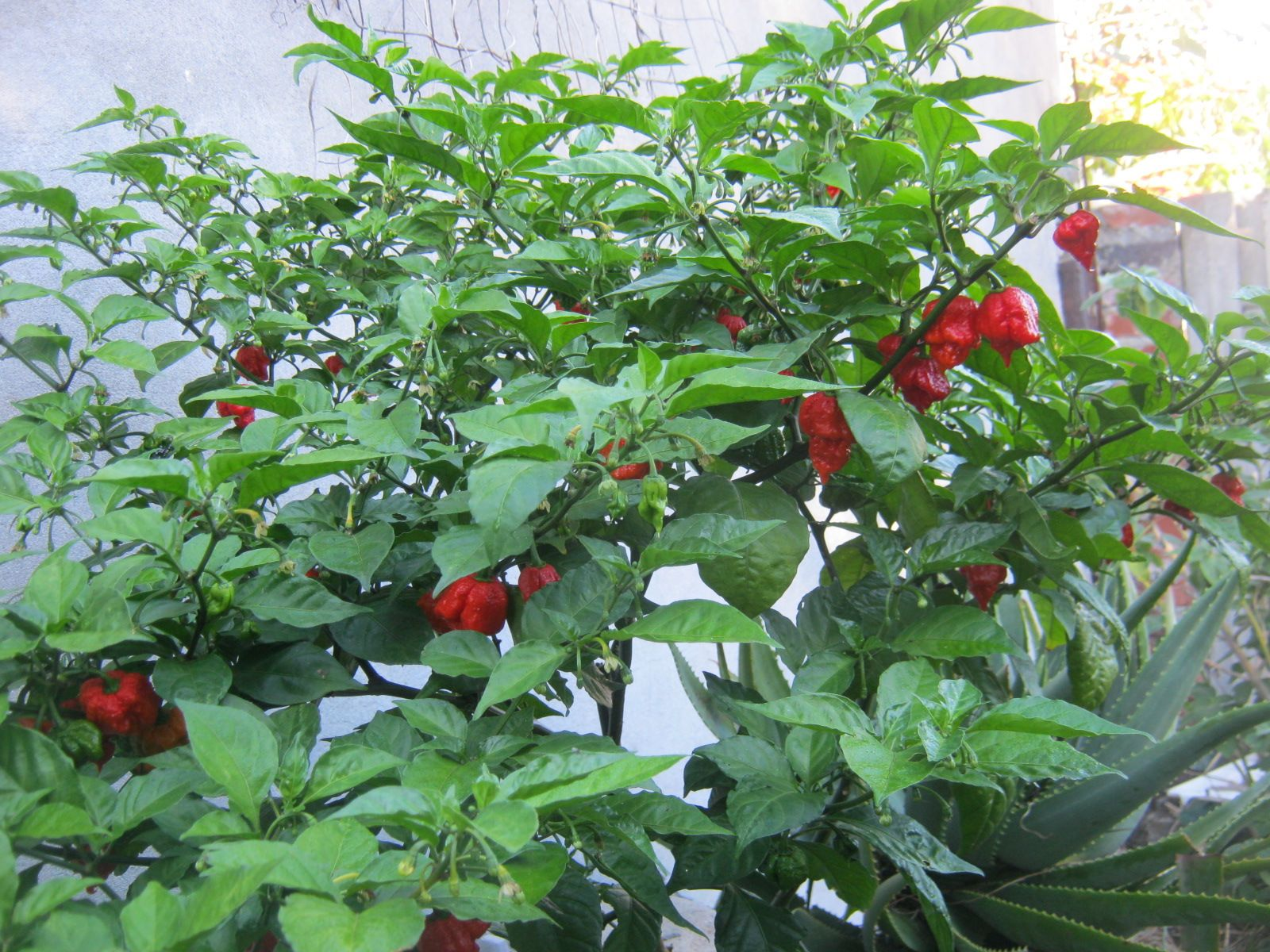 Carolina Reaper Diary Carolina Reaper Beautiful Landscapes