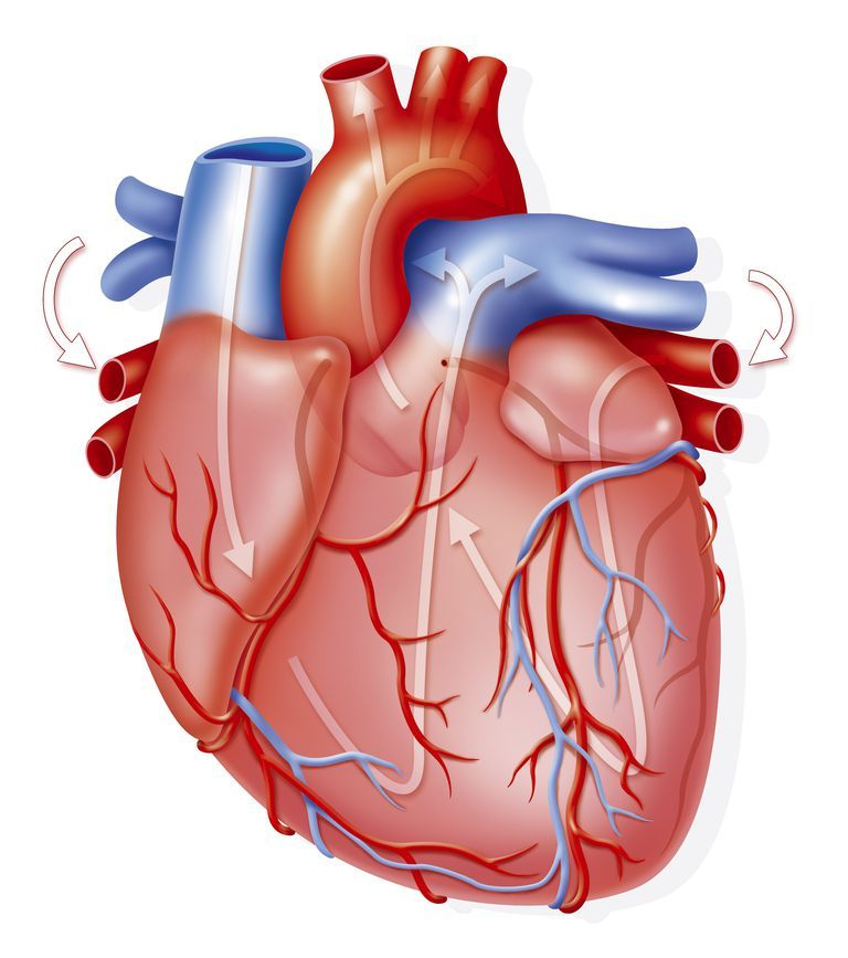 como funciona el corazon y sus partes | Alto | Pinterest | Como ...
