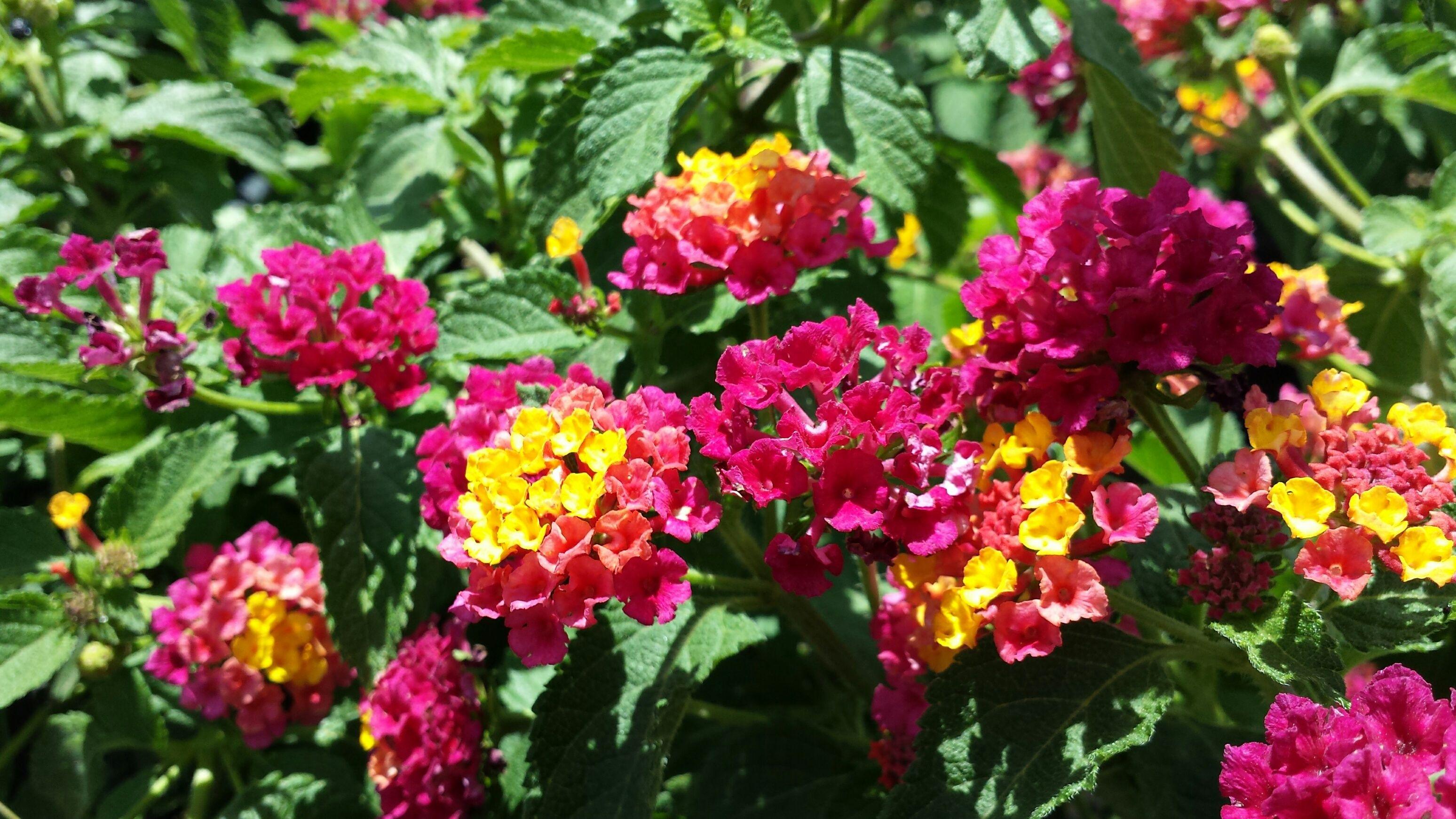 Irene Lantana Lantana Camarena Irene Attractive Mounding Variety To 3 5 Feet Or More Has Magenta And Yellow Flower Lantana Summer Flowers Flowering Trees