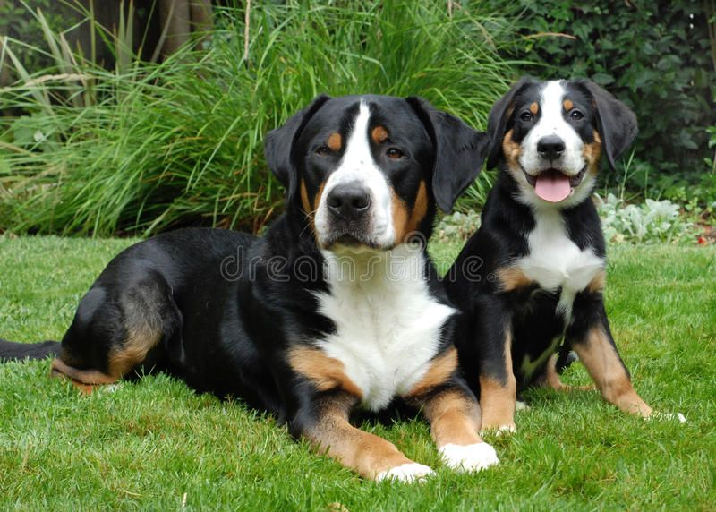 Greater Swiss Mountain Dog Adult And Puppy Greater Swiss