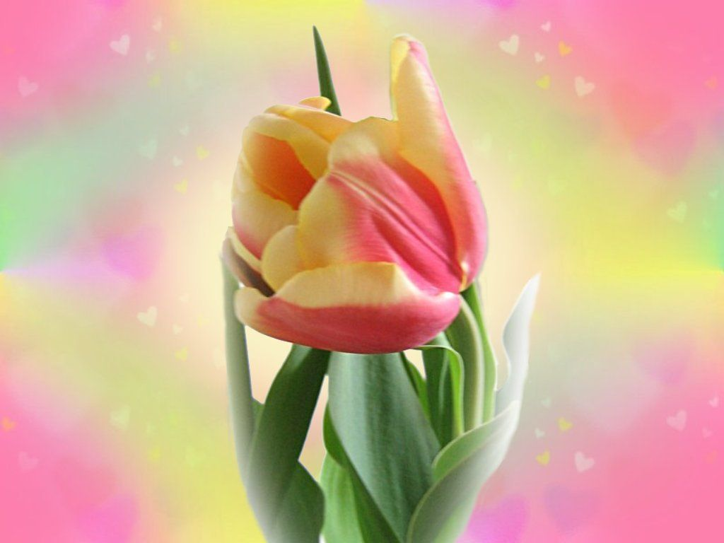 Download Wallpaper Tulips Buds Red Black Background Hd Background Flower Desktop Wallpaper Flowers Orange Tulips