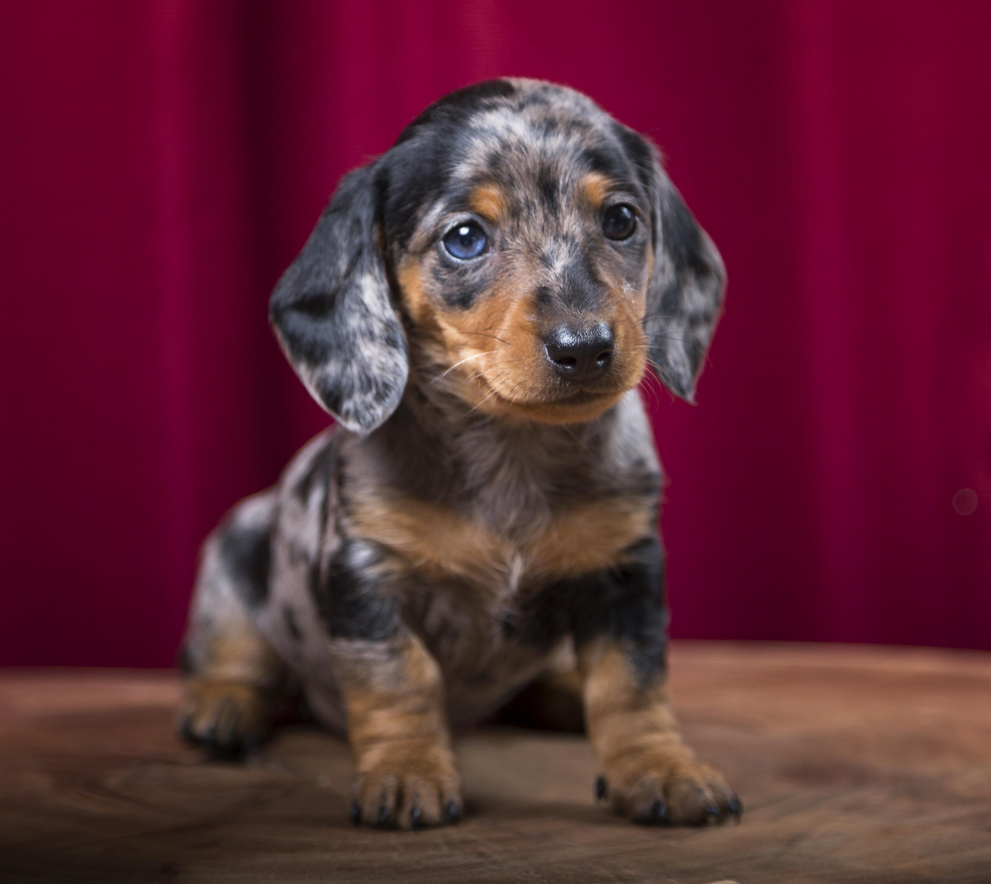 Cute Lil Sausage Dog With A Dappled Blue Eye Http Ift Tt 2jiuzn8 Dachshund Pets Cute Little Dogs Dachshund Puppy Black