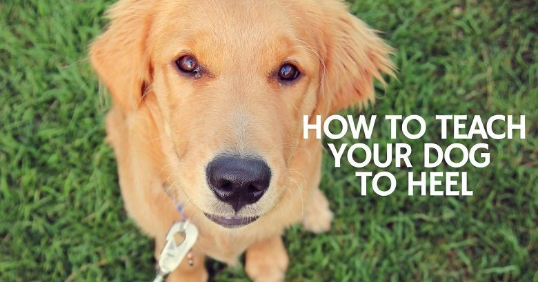 Teaching Your Dog To Heel 13 Tips Dog Clicker Training