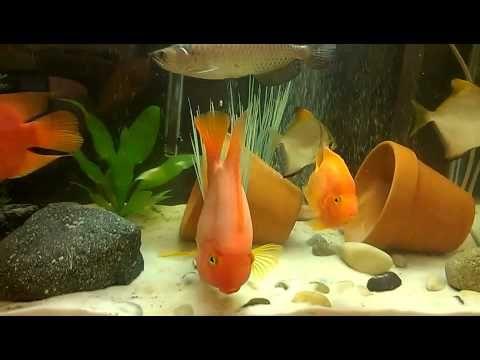 Beautiful Fish Aquarium Parrot Fish Jardini Arowana King Kong Parrot Parrot Fish King Kong Beautiful Fish