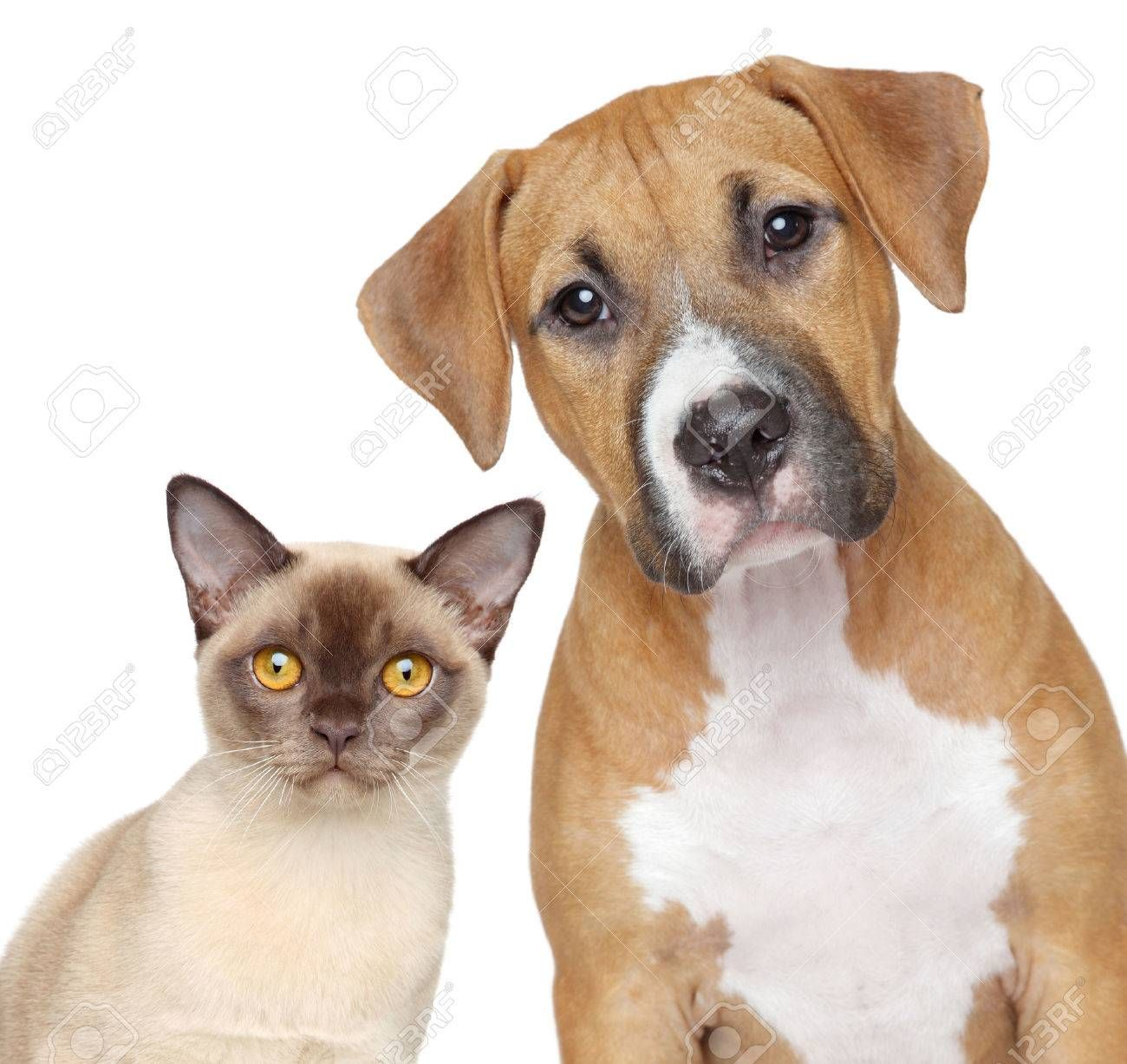 Burmese cat and Staffordshire Terrier portrait on white background , #Sponsored, #Staffordshire, #cat, #Burmese, #Terrier, #background