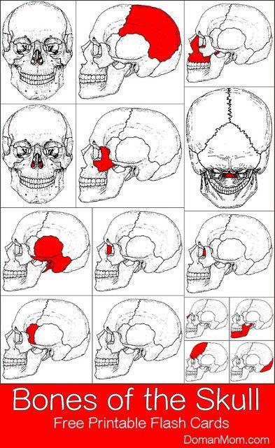 Bones of the Skull: Free Printable Flash Cards | Biologie 12 ...