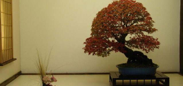 Nov Chat Tok - Willowbog Bonsai
