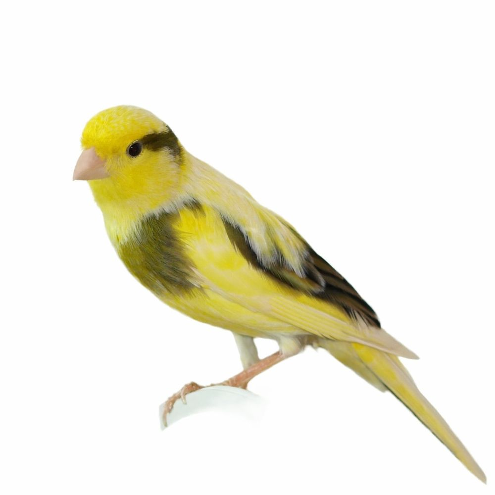 yellow canary with blk 294211527 large jpg 1000 1000 canaries