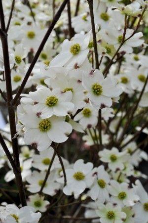 White Flowering Dogwood In 2020 Kousa Dogwood Tree Small