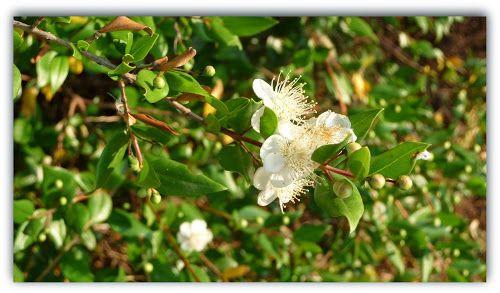 Photo of myrtus communis