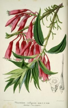 v.4 (1857) - L'Illustration horticole : - Biodiversity Heritage Library