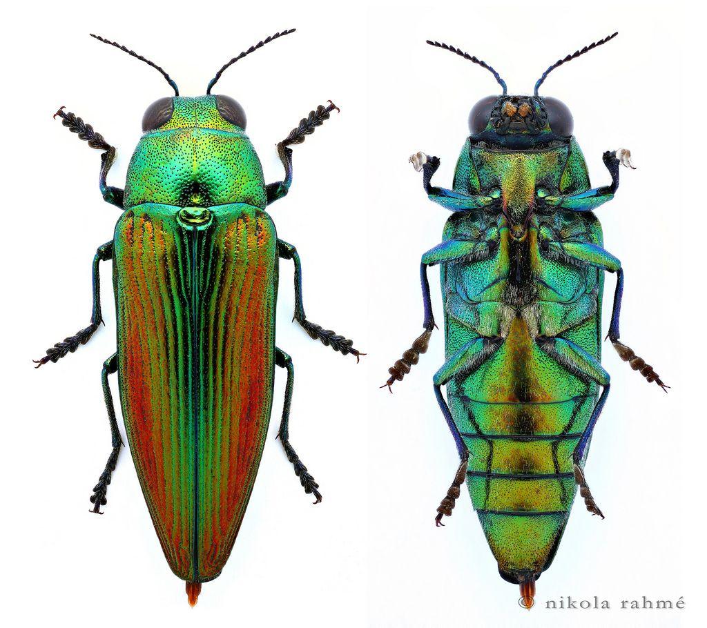 Golden jewel beetle (prepared) Eurythyrea aurata