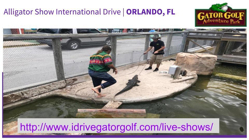 "Watch Alligator Show International Drive with ""Gator Golf"