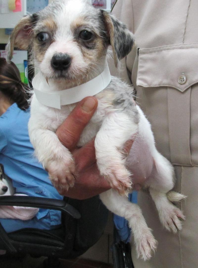 Dachshund dog for Adoption in Lewisburg, TN. ADN526012 on