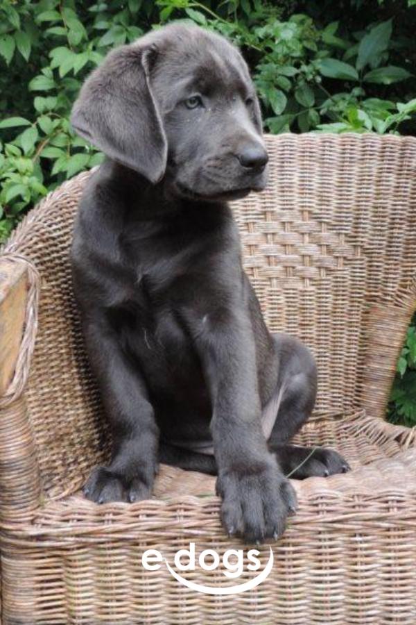 Labrador Retriever In 2020 Labrador Labrador Retriever Hunde