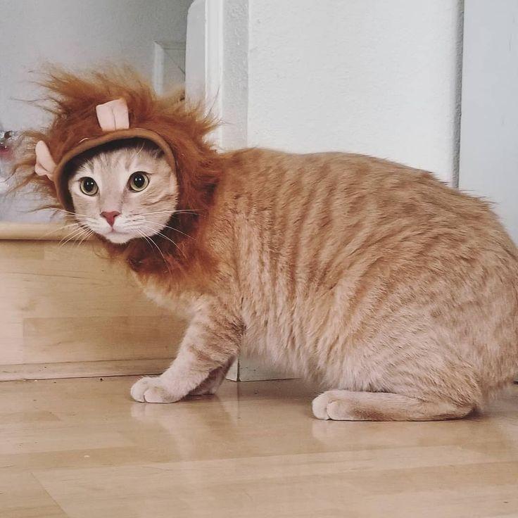 #love  #cats  #neko  #kittens  #kitty  #catsagram  #photooftheday  #cute  #pet  #meow  #instacat  #cat  #catlover  #petstagram  #instagood  #animal  #ilovemycat  #catsofinstagram  #lovecats  #kitten  #cats_of_instagram  #catoftheday  #pets  #animals  #catstagram  #petcostume  #catsinhats  #lioncat #lookin #REAL Calcifer lookin REAL MAD about his lion costume. . . . . . . . .