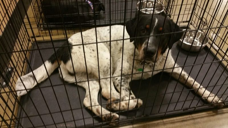 Available For Adoption Branson Is A Male Dog Pointer Mix