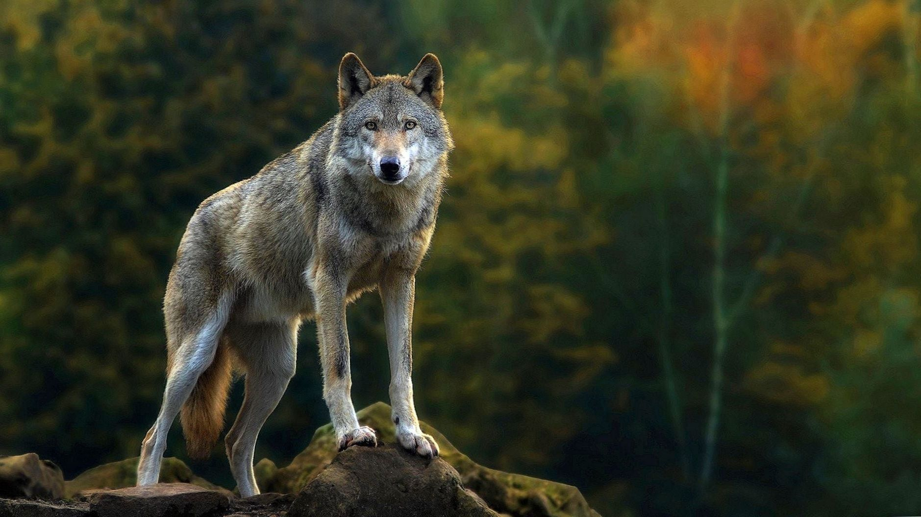 1920x1080 Wolf Wallpapers Wolf Wallpapers Pro Wolf Wallpaper