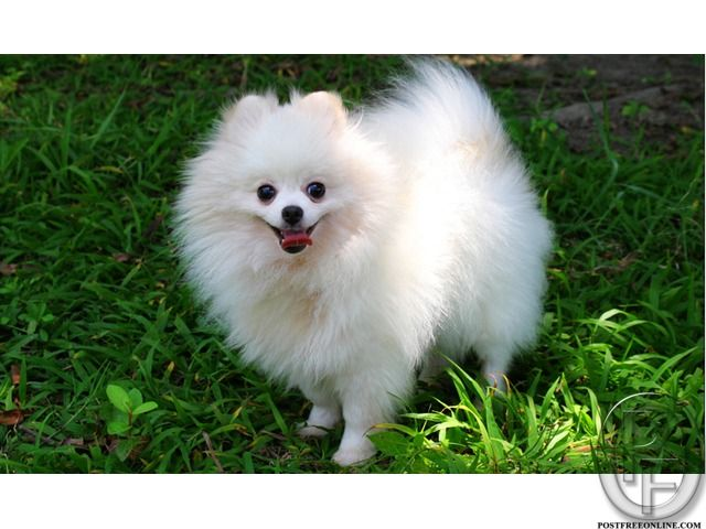 Pomeranian Dog Puppy Available For Sale In Mumbai Maharashtra