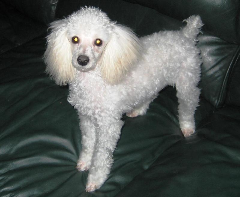 Adopt Meri On Poodle Rescue Pet Adoption Beautiful Dogs