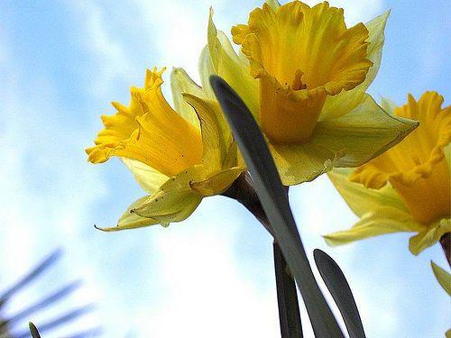 my favorite flower...daffodil