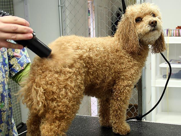 How To Find A Good Groomer Poodle Grooming Dog Grooming Poodle