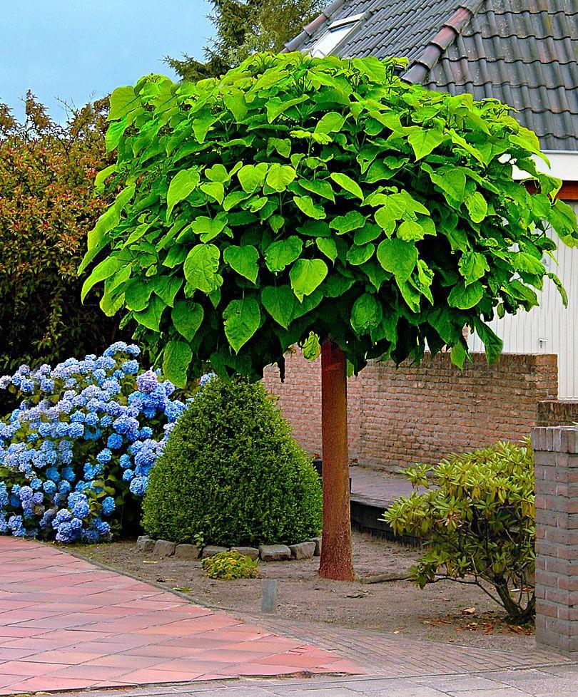 Trompetkrone | Træer og buske | Bakker Holland | Garden | Pinterest | Buske, Haveideer og Gårdhave