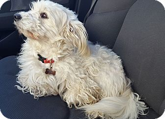 Maltese Poodle Toy Or Tea Cup Mix Dog For Adoption In Plano