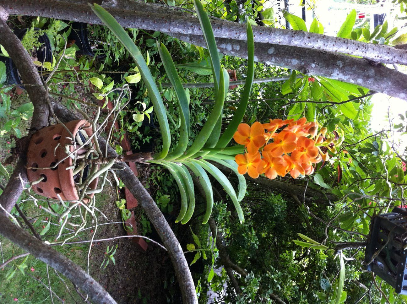 vanda orchids for sale philippines Google Search (With
