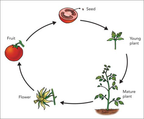 Life cycle of a tomato plant. Science lesson for grade 1 ...