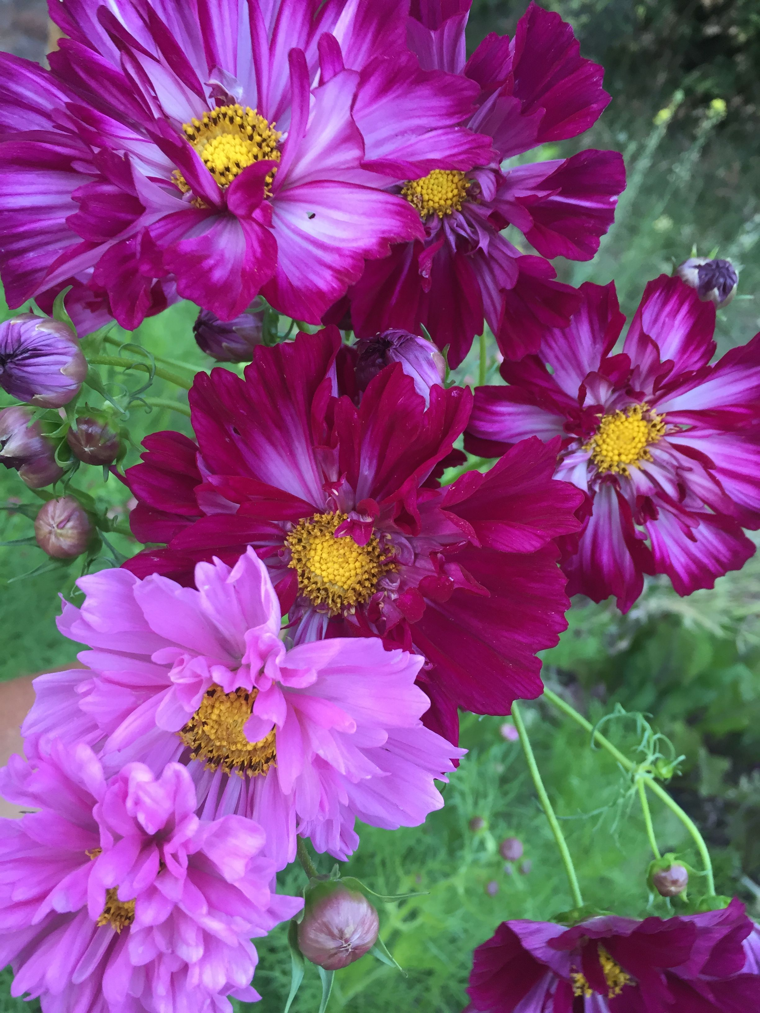 Cosmos Bicolor Picotee Rose Pink Fuschia White Red Lemon August Flowers September Flowers Flowers