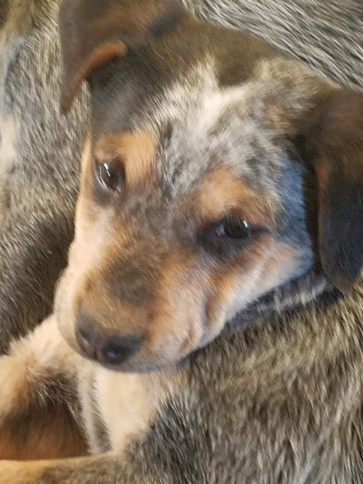 Puppies Milo Ezra Sam Merlin Reuben Is An Adoptable Beagle
