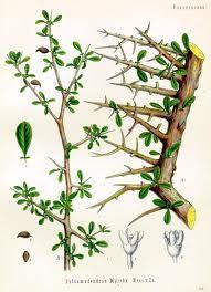 Myrrh : Myrhh (Commiphora myrrh) - Sensual, Haunting Perfume.