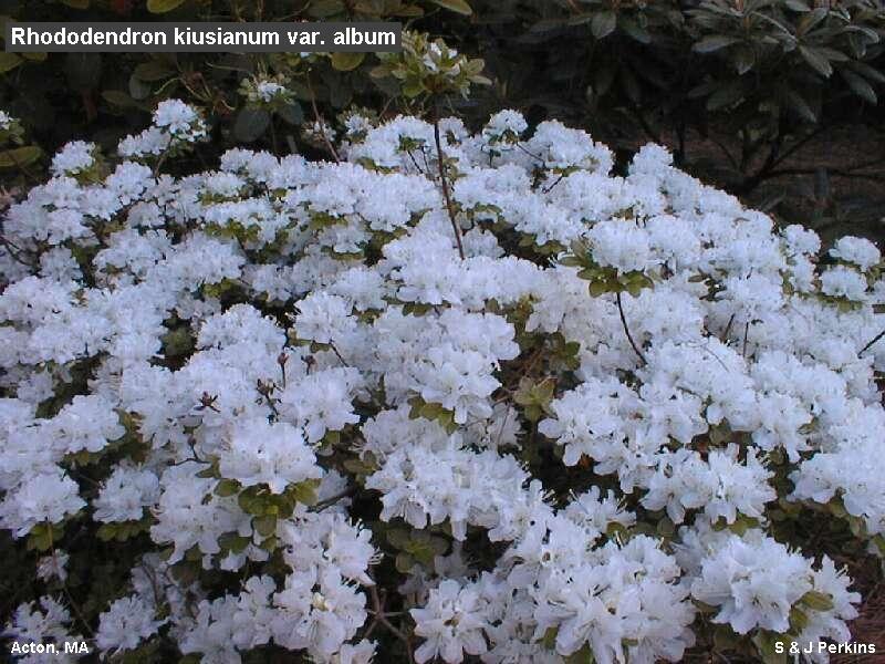 Rhododendron kiusianum var. album in Acton, MA