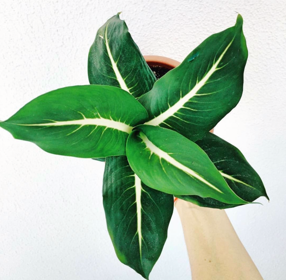 Dieffenbachia Green Magic _____⁣ smartplantcare for