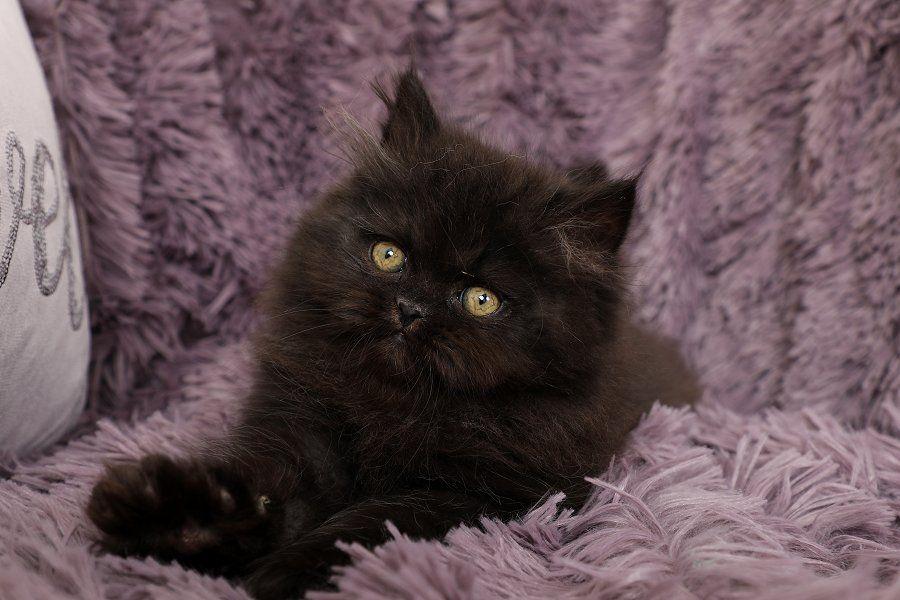 Persian Kittens For Sale Little Black Bear Persian cat