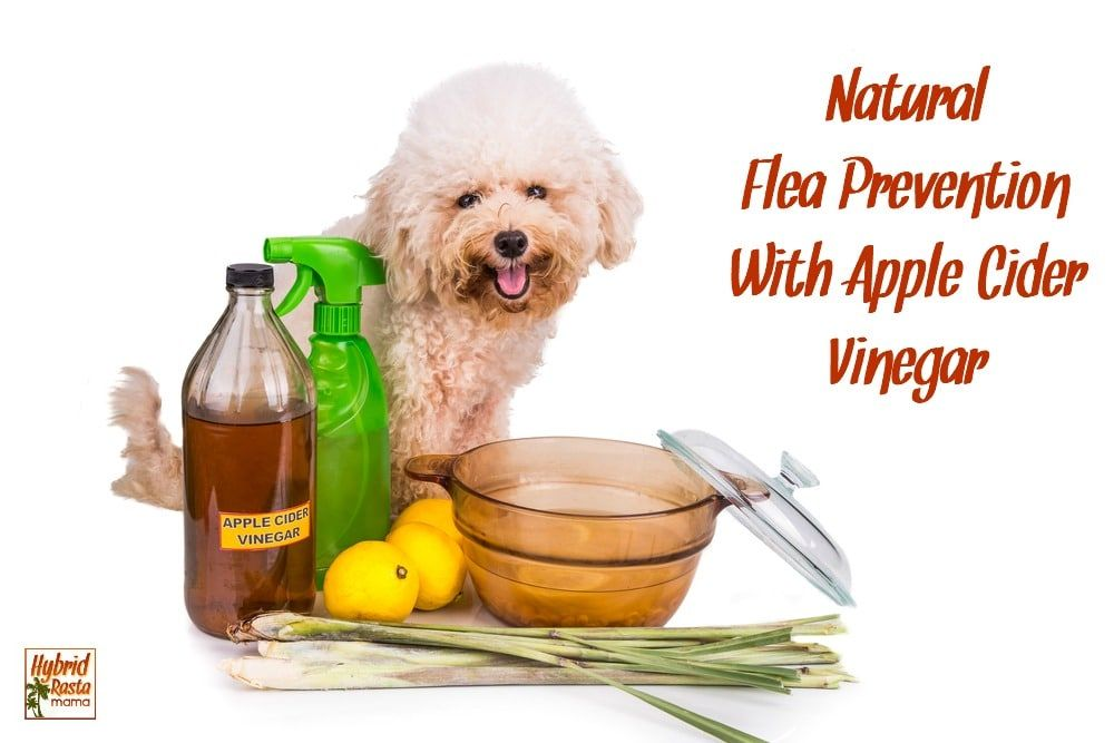Natural Flea Prevention and Control with Apple Cider
