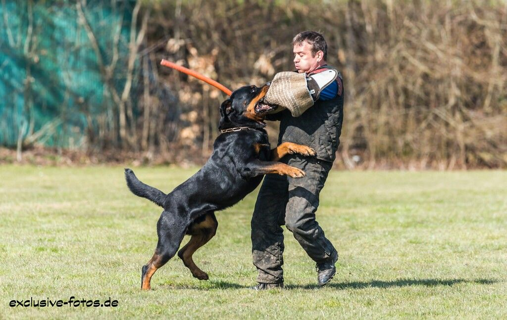 Rottweiler Ipo Work Working Dogs Sporting Dogs Military Dogs