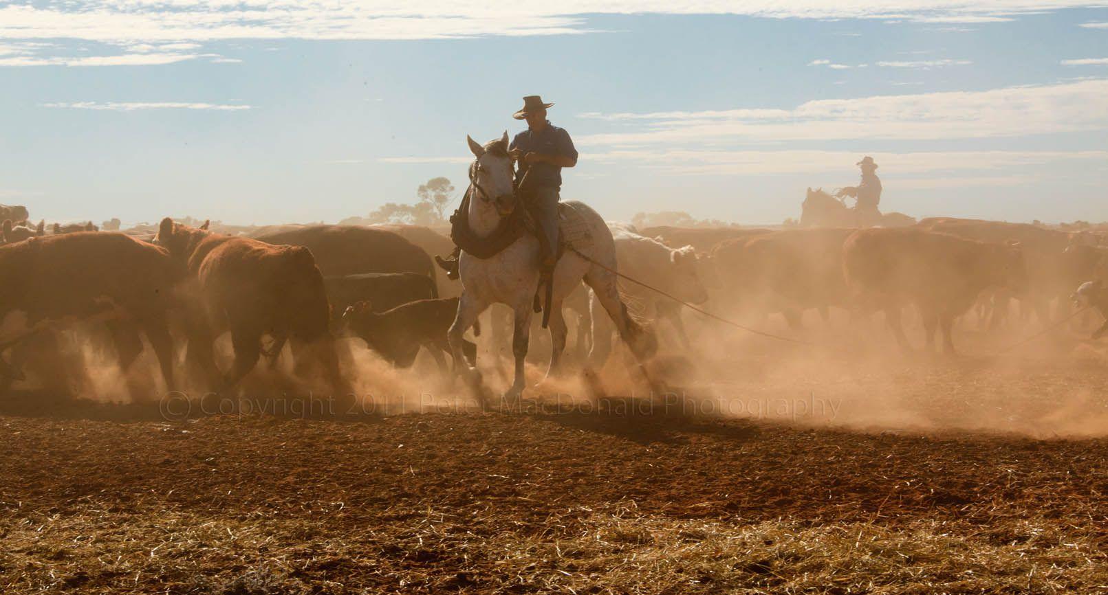 horseback mustering  australian cattle station
