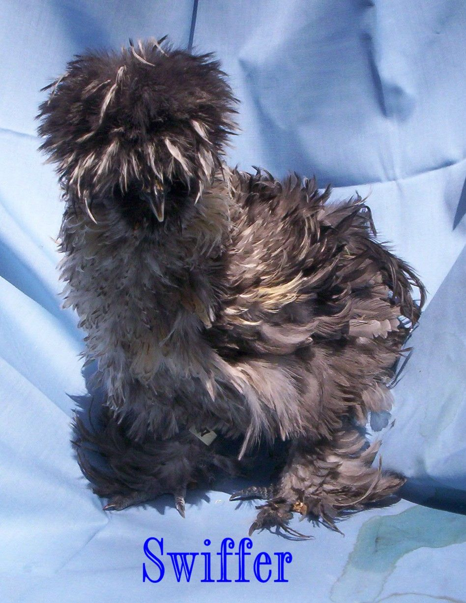 About Sizzles   Sizzles are very unusual and are on their way to being recognized as a new breed of bantam. Ours are now in their 15th gener...
