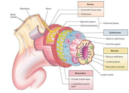 wall of GI Tract | Coding/Anatomy/Physiology | Pinterest | Walls ...