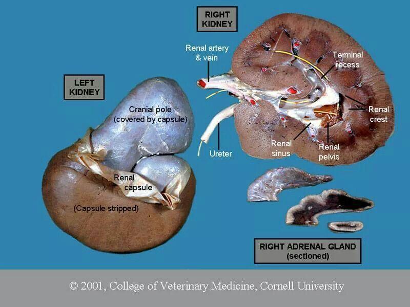 Kidney anatomy | Vet Student Survival, Universities and Necessary ...